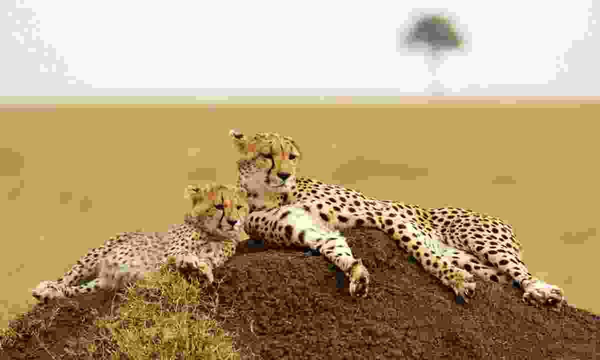 A cheetah and cub in the Masai Mara (Dreamstime)