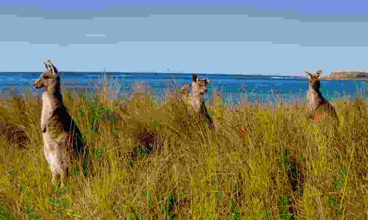 Kangaroos at Pebbly beach (Dreamstime)