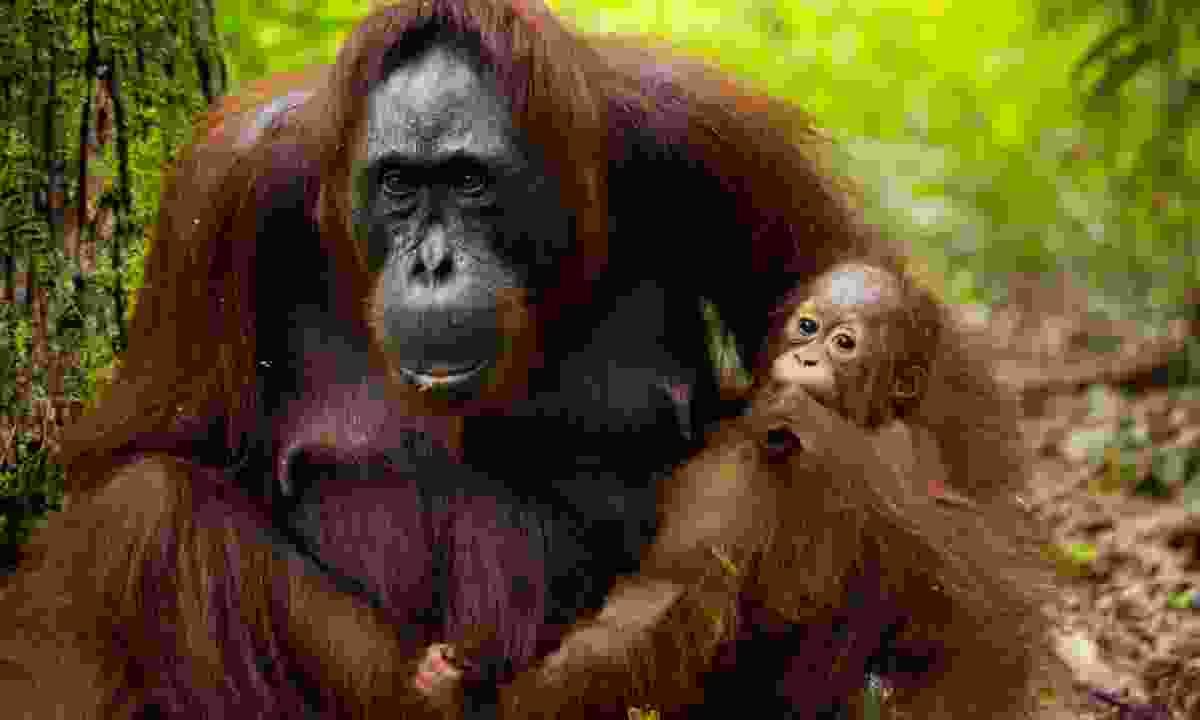 Orang-utan and baby (Dreamstime)