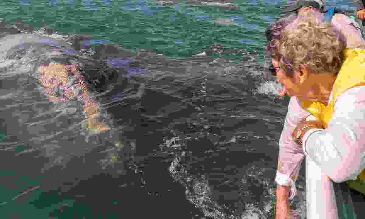 Grey whale approaching boat in Baja (Dreamstime)