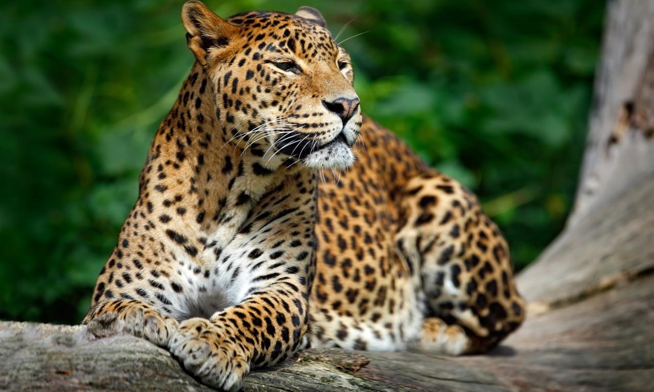 SriLankan leopard in Yala National Park (Dreamstime)
