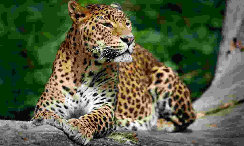 Sri Lankan leopard in Yala National Park (Dreamstime)