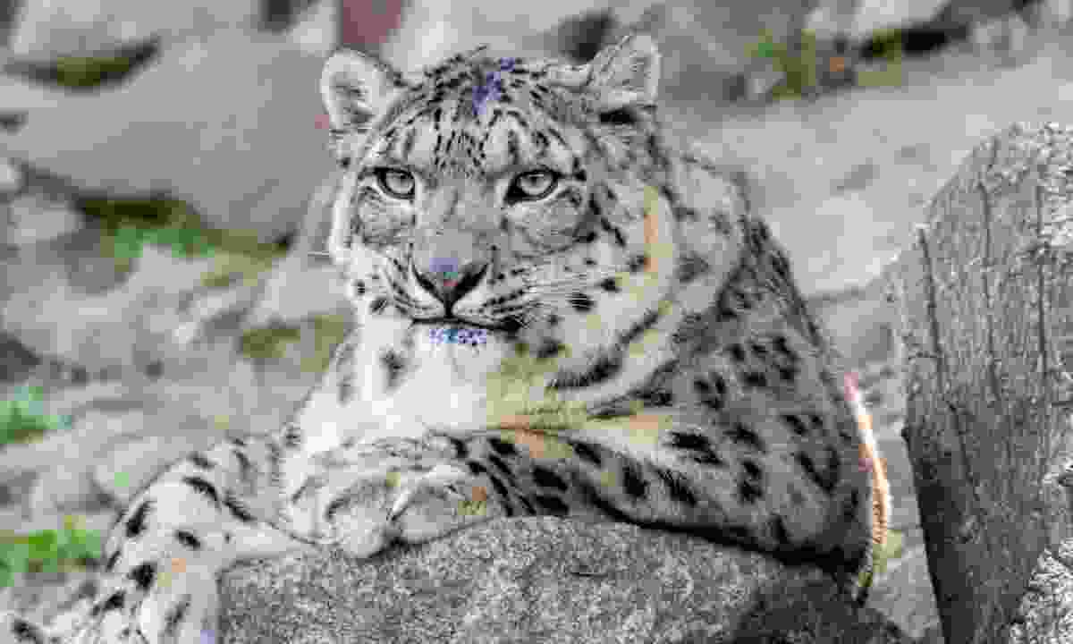 Snow leopard resting on rocks in the Himalaya (Dreamstime)