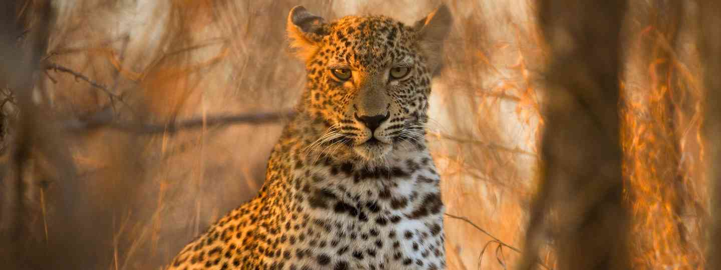 Leopard in Kruger National Park (Dreamstime)