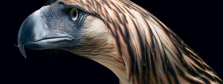 Philippine Eagle (©Tim Flach)