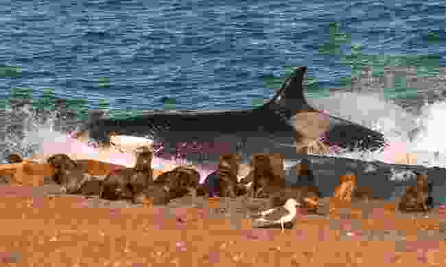 An orca hunting seals on Península Valdés (Shutterstock)
