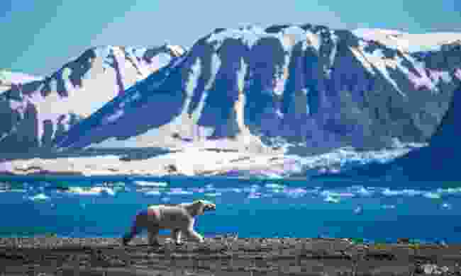 A polar bear roaming the shoreline on Spitsbergen (Shutterstock)