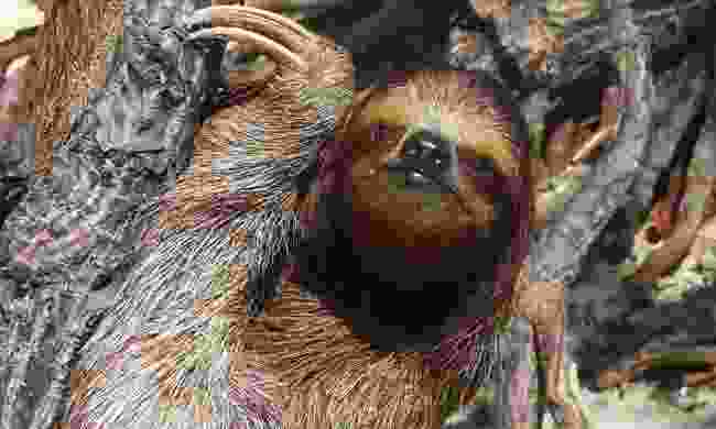 Meet Central America's beloved resident, the sloth (Shutterstock)