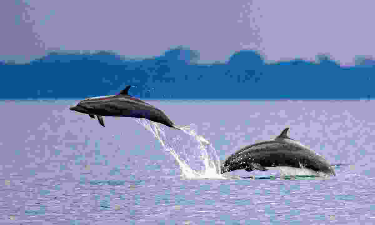 Spot playful dolphins jumping out of the water