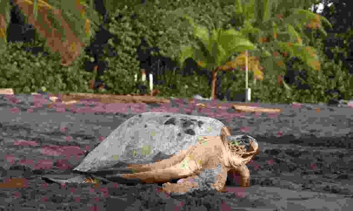 Turtle in Tortuguero National Park (Dreamstime)