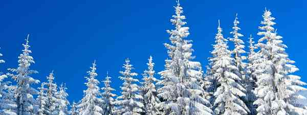Snowy trees (Dreamstime)