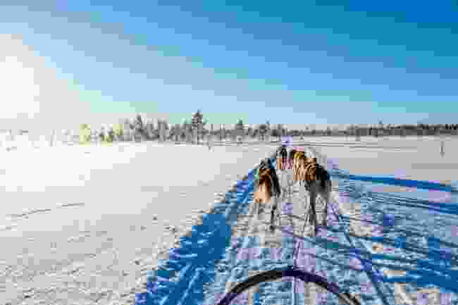 Husky sledding in Lapland (Dreamstime)