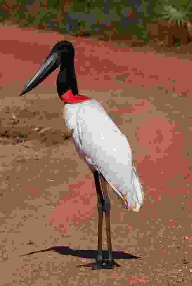 Jabiru stork (Simon Chubb)