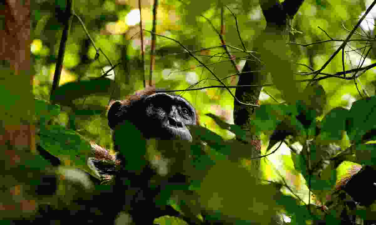 Ape expectations: Chimps learn to navigate the tangled branched at an early age (Emma Gregg)