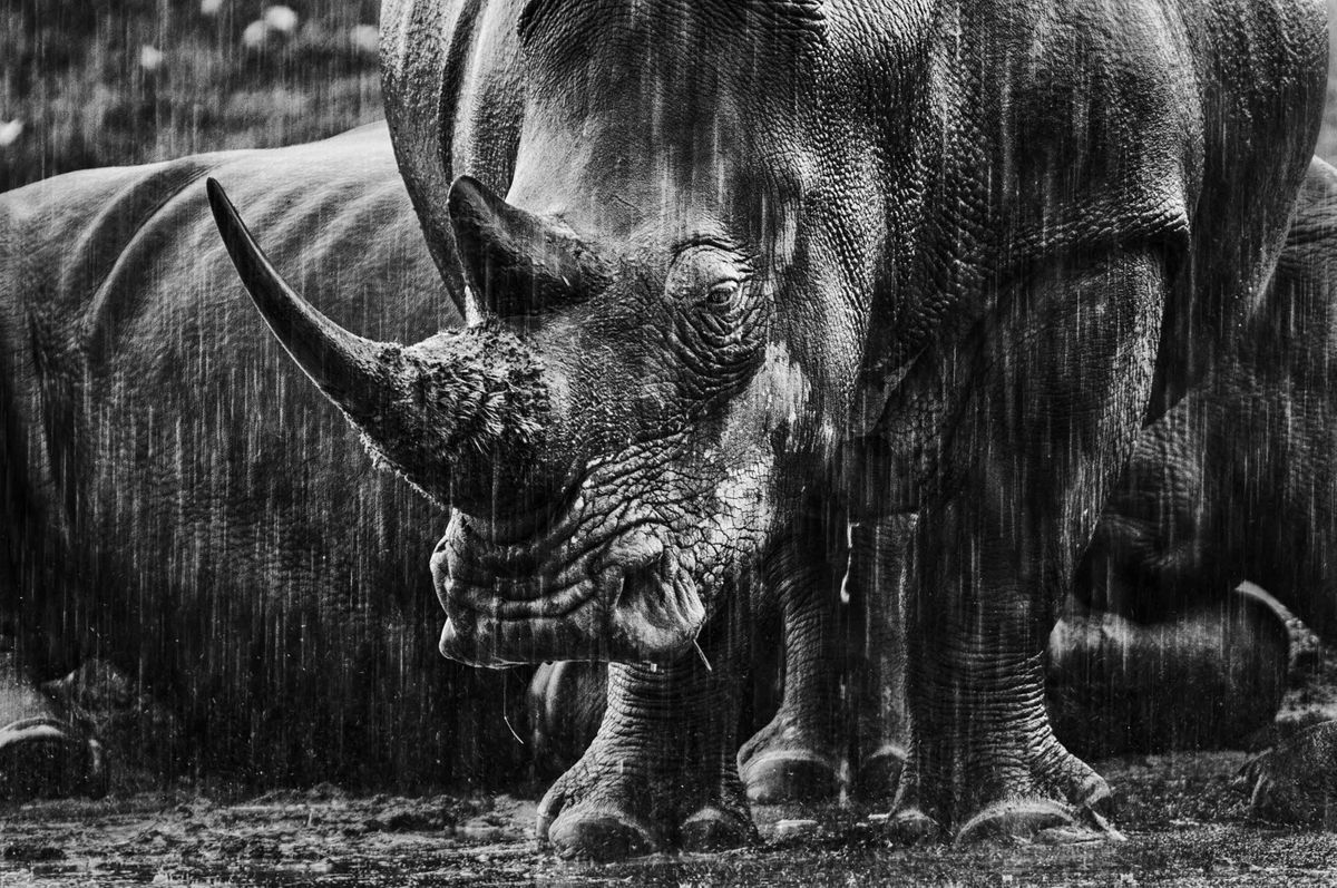 Southern white rhino in Kenya (Federico Veronesi)