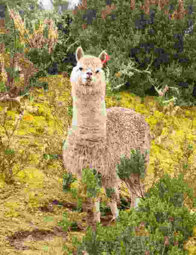 Alpaca are used for both wool and meat in Peru, and greet all travellers with the same slightly haughty gaze (Paul Bloomfield)