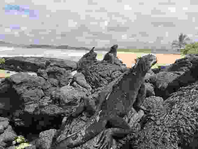 Iguanas make the most of an unusually quiet Isabela Island (Ian Melvin)