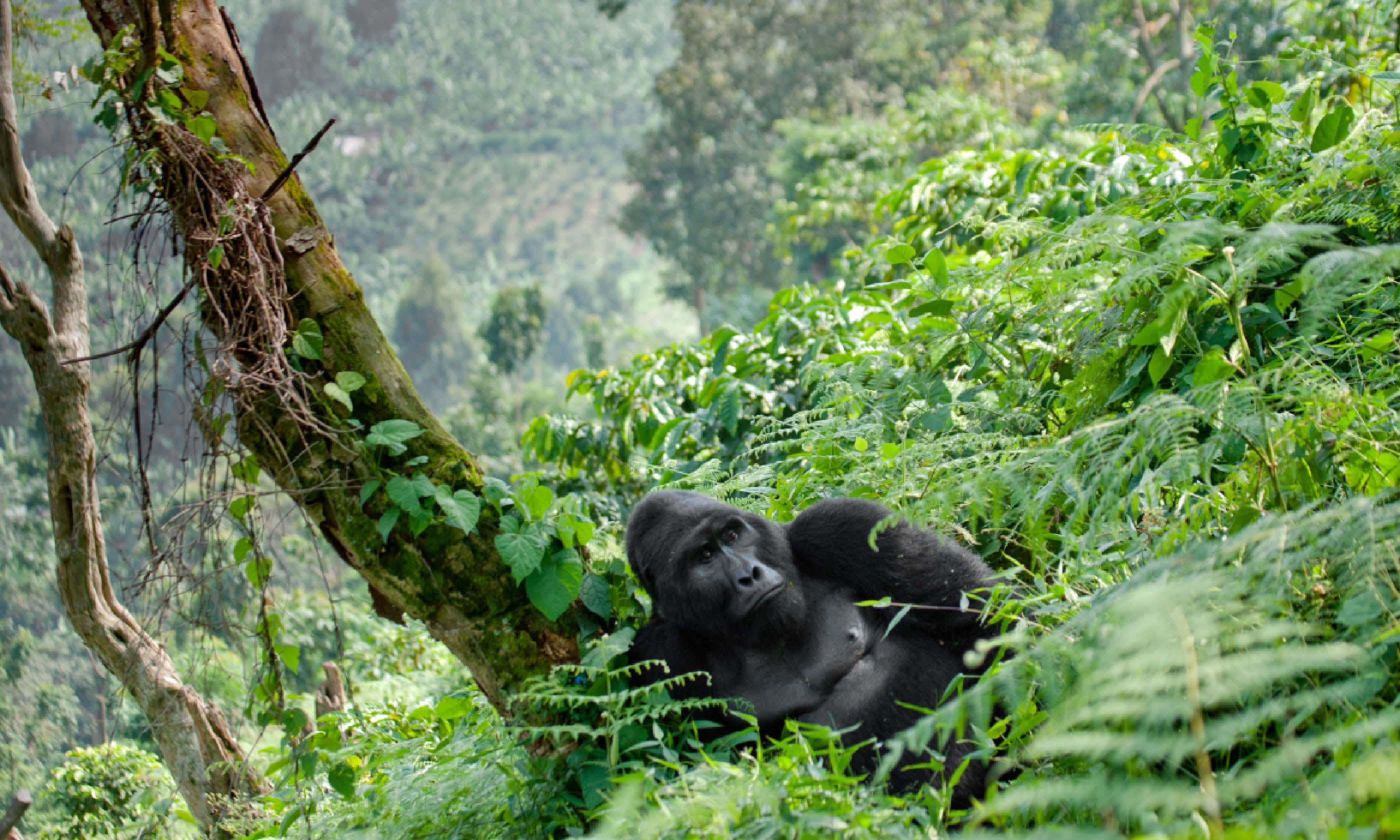 Dominant male mountain gorilla (Shutterstock)