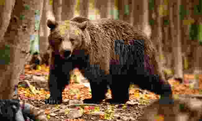 Bear at Arcturos Sanctuary (Nikos Kanellopoulos/Arcturos)