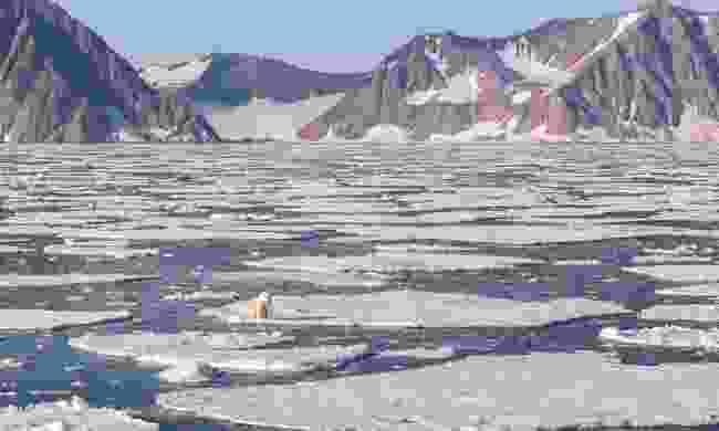 Polar bear on the sea ice as seen with Quark Expeditions (Acacia Johnson)