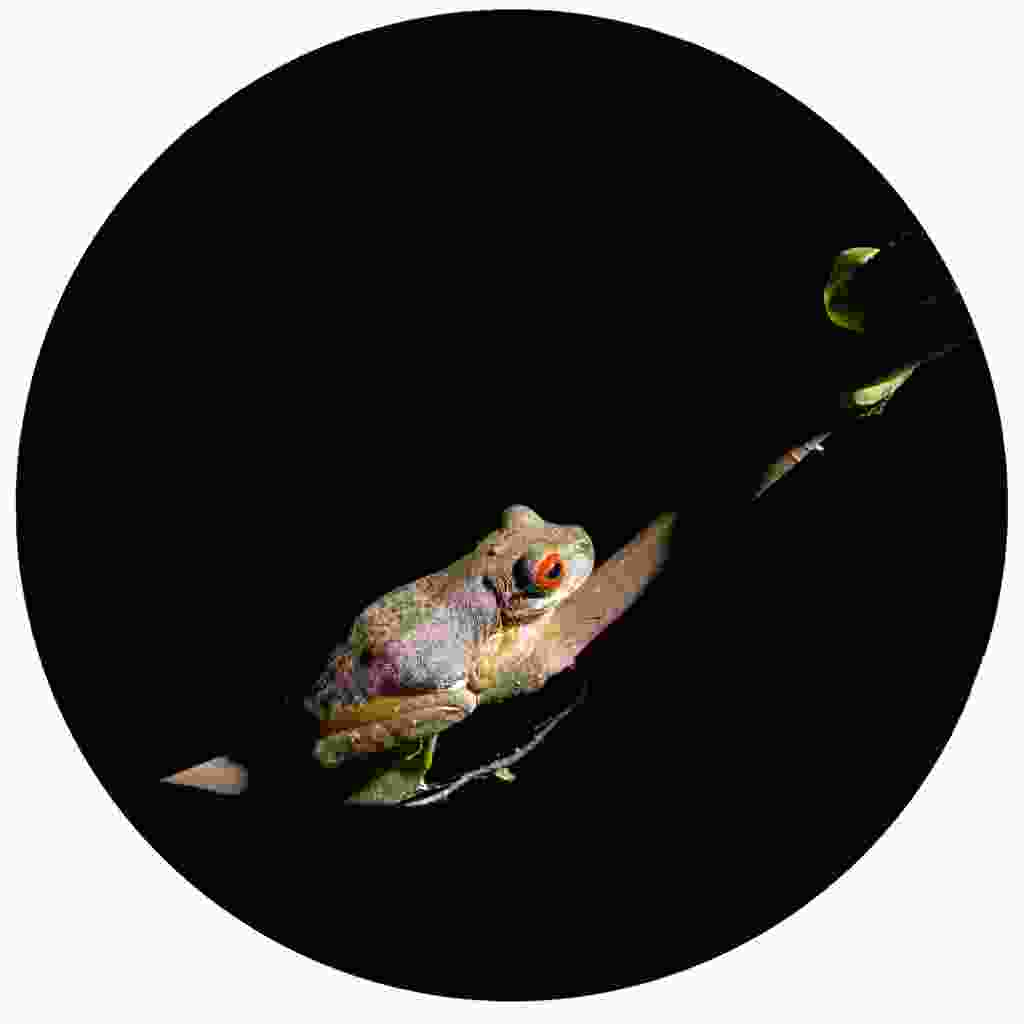A red-eyed frog found during a nightwalk (Dreamstime)