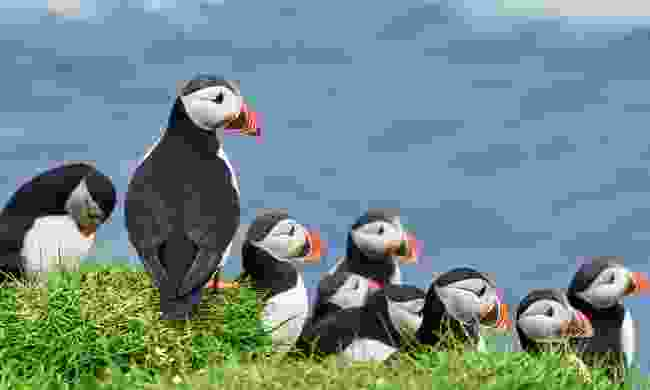 See puffins in the Channel Islands (Shutterstock)