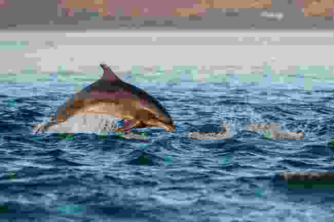 Dolphin at Moray Firth (Shutterstock)