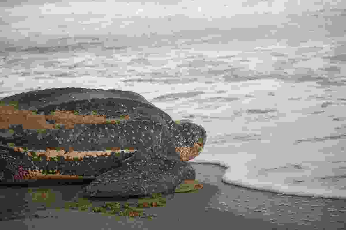 Leatherback sea turtle. (Shutterstock)