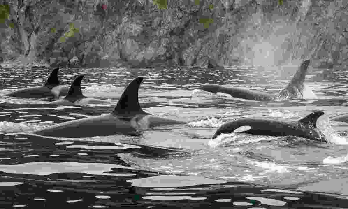 See Orcas in Alaksa (Shutterstock)