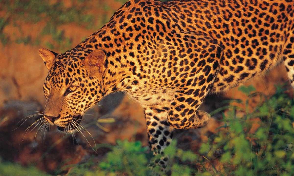 Leopard in Yala National Park (Gehan de Silva Wijeyeratne)