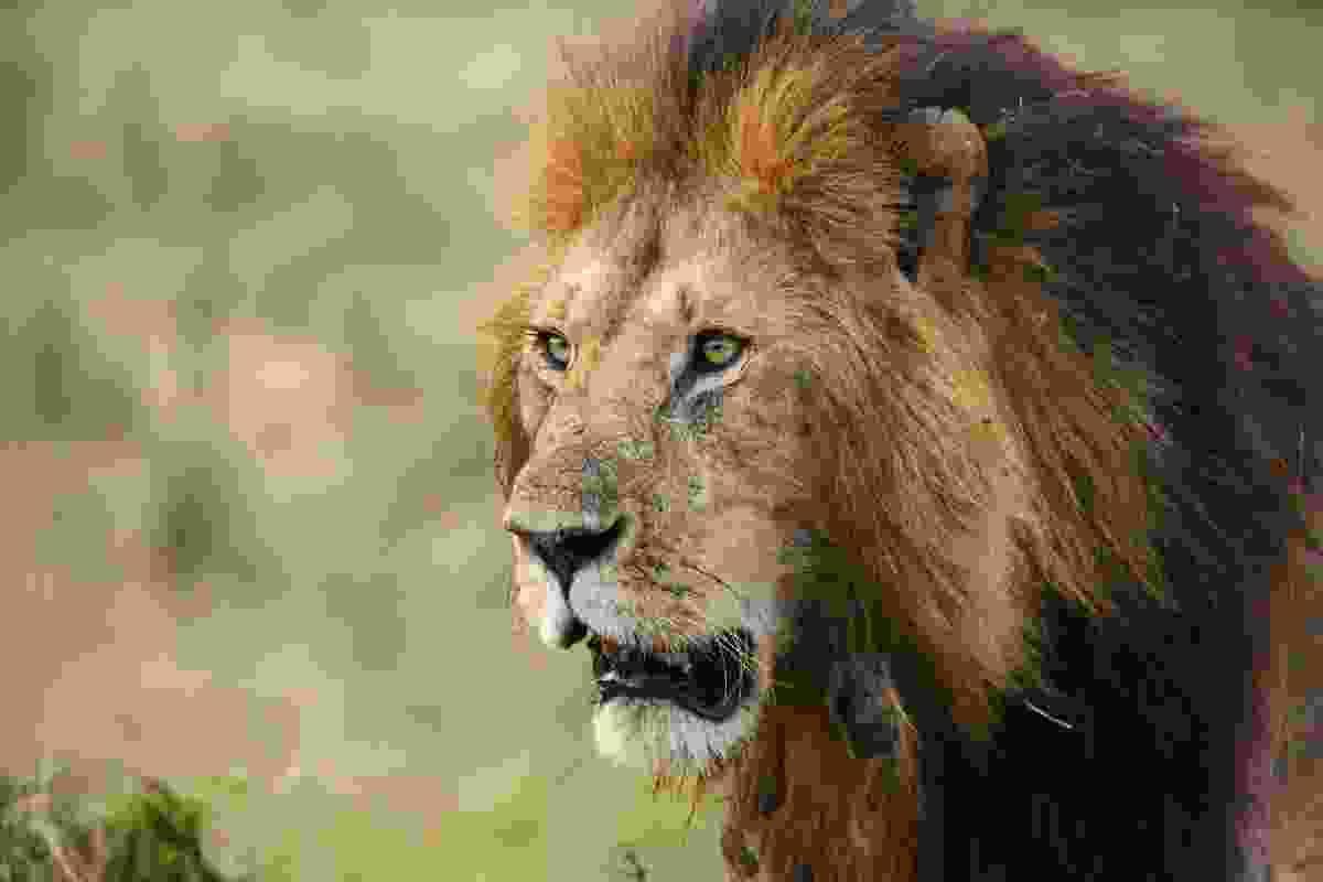 A male lion marauds through the Mara Triangle in Kenya (Graeme Green)