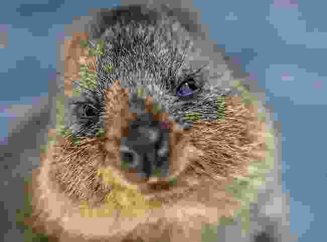 Rottnest Island Quokka, Western Australia (Nori Jemil)