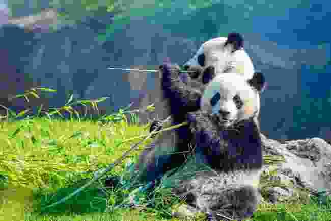 Pandas eating bamboo (Shutterstock)