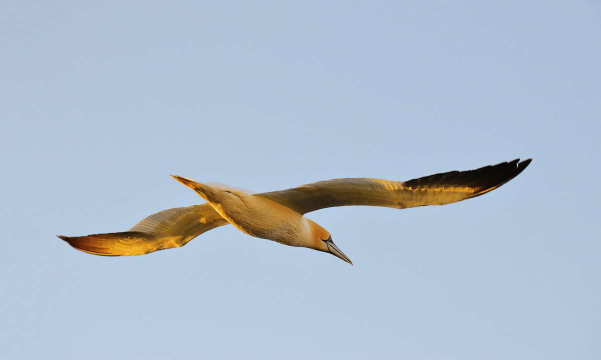 A gannet flies overhead as we leave St Kilda (Phoebe Smith)