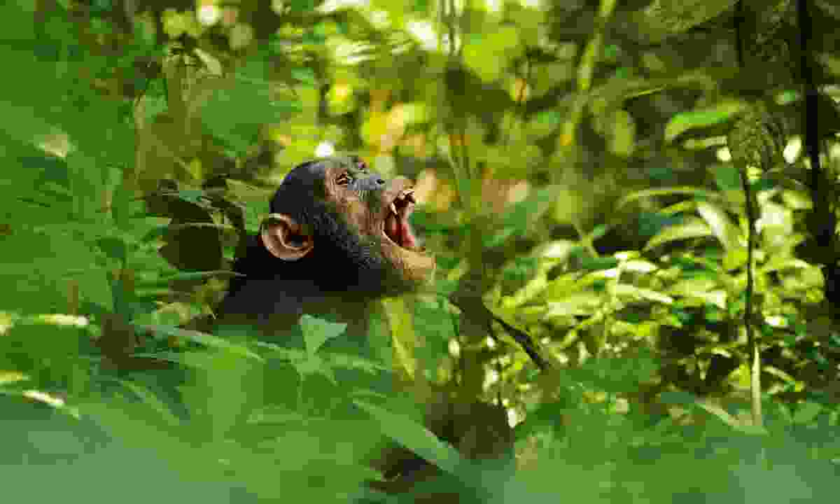 Call of the wild: A chimpanzee in Uganda's Kibale Forest National Park (Shutterstock)