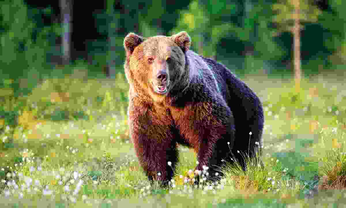 A brown bear in Finland (Shutterstock)