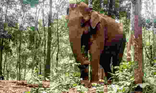 Elephant at the Mondulkiri Project (Dreamstime)