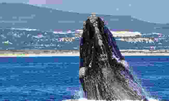 Southern right whale breaching in Walker Bay (Dreamstime)