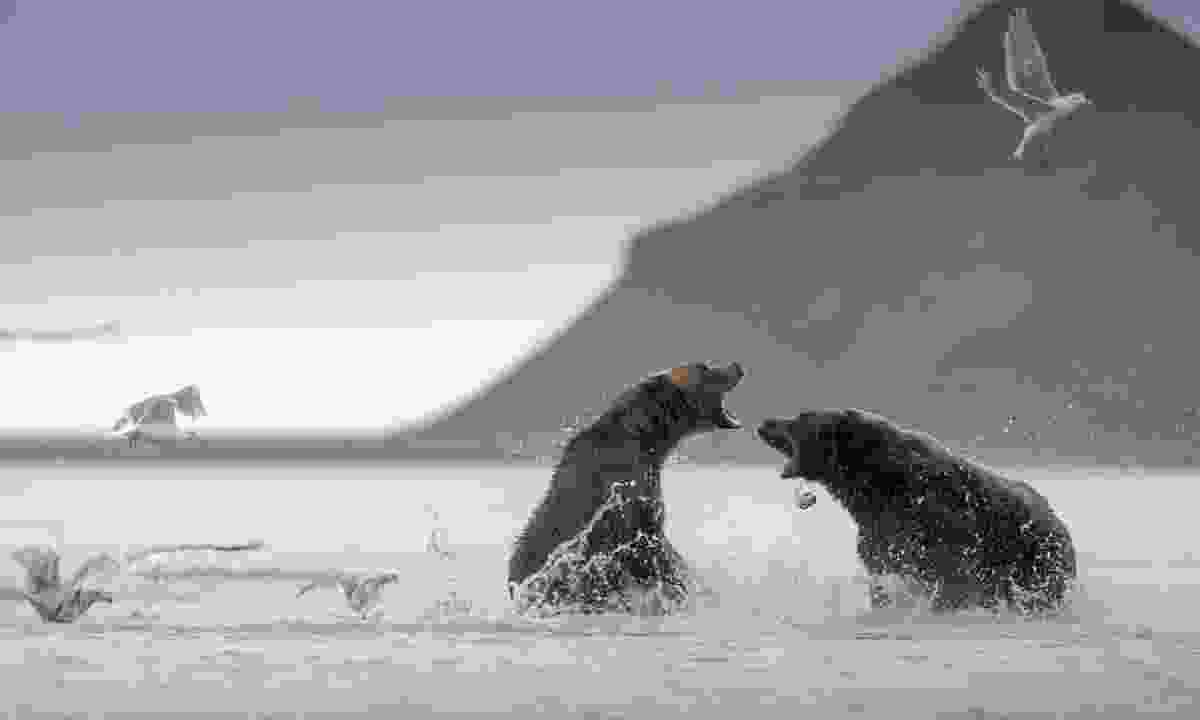 Grizzlies fighting in Hallo Bay, Katmai National Park (Dreamstime)