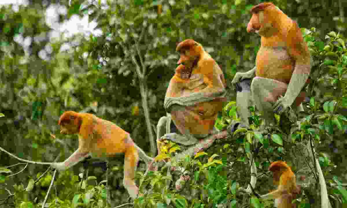 Family of proboscis monkeys (Dreamstime)