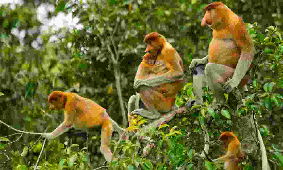 Family of proboscis monkeys (Dreamstime)