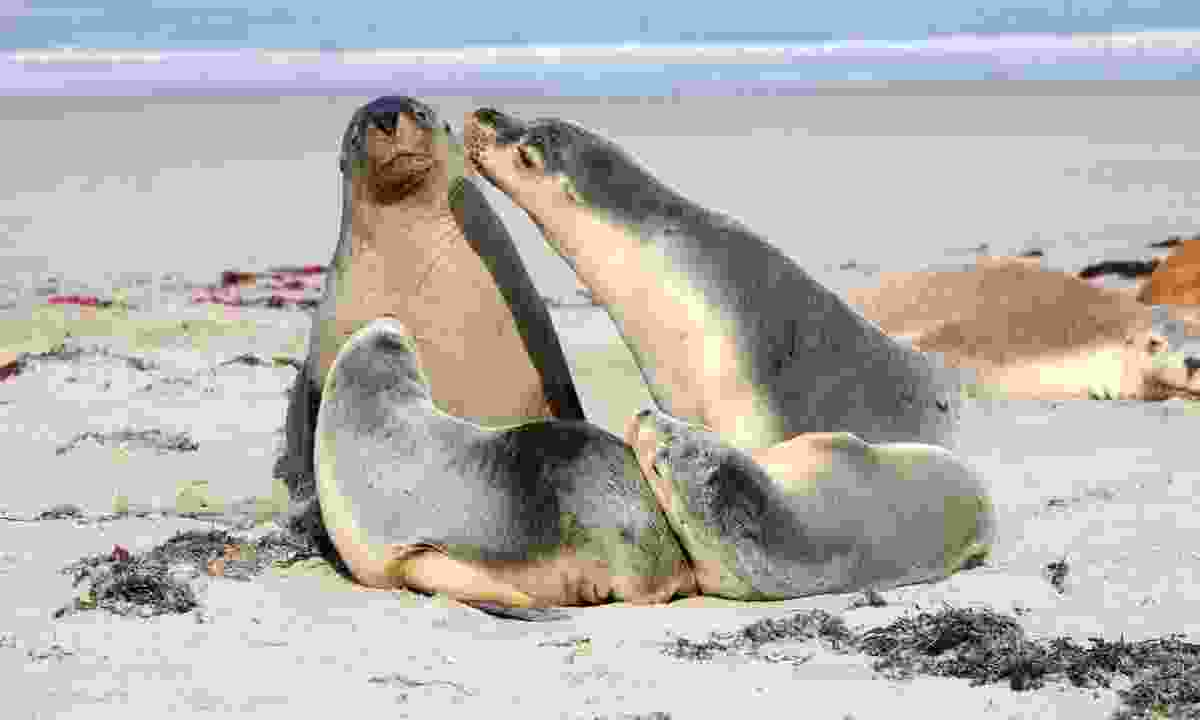 A family of seals at Seal Bay on Kangaroo Island (Dreamstime)