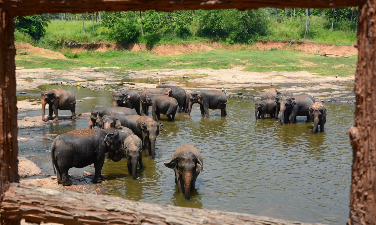 Elephantsbathing at Pinnawala