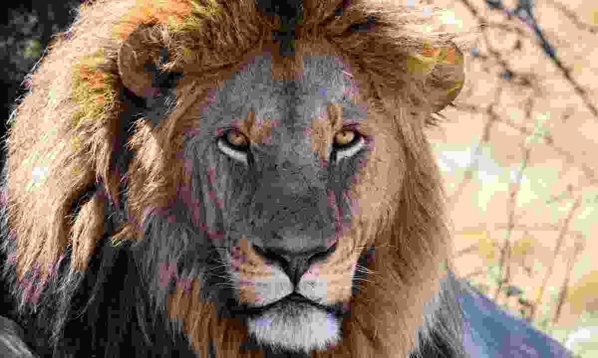 A male lion (Susan McConnell)