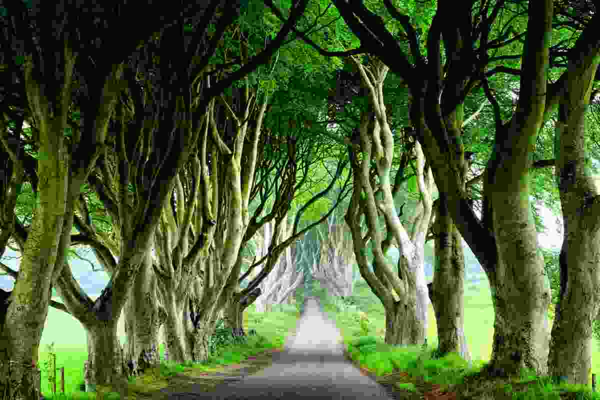 Stand on the King's Road (Dark Hedges) in Ireland (Dreamstime)