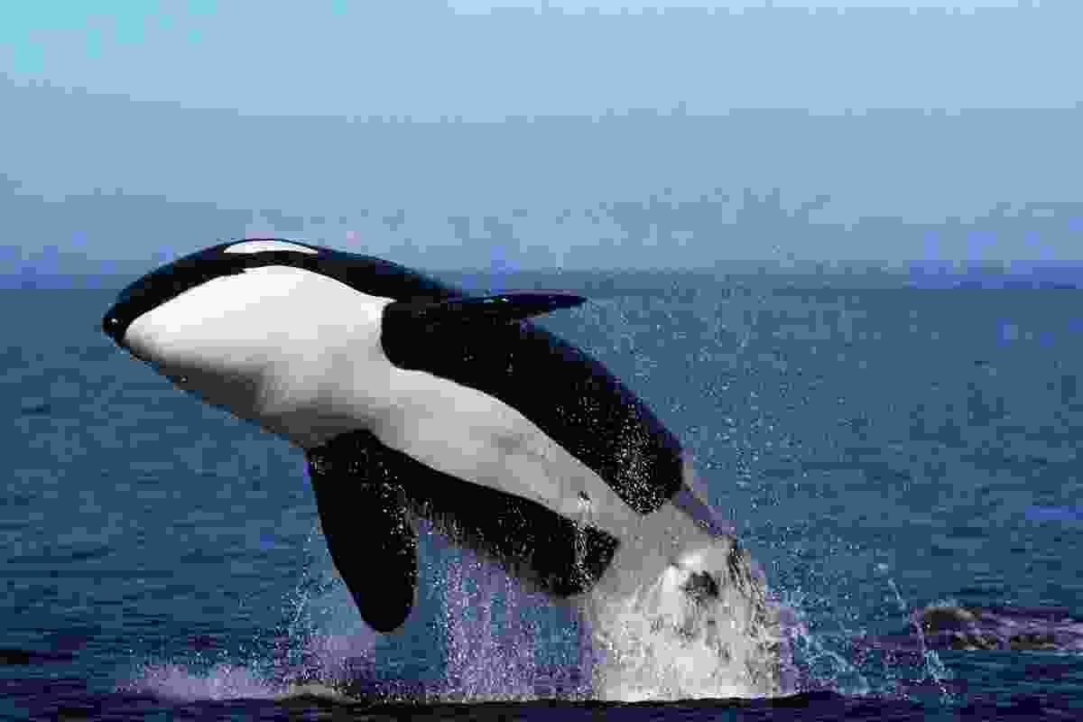 Orca breaching on Canada's west coast. (Dreamstime)
