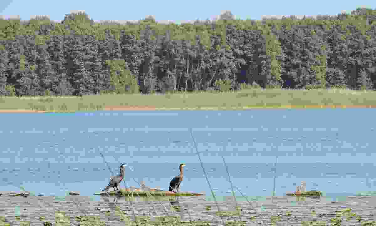 Cormorant birds in Nemunas Delta Regional Park (Dreamstime)