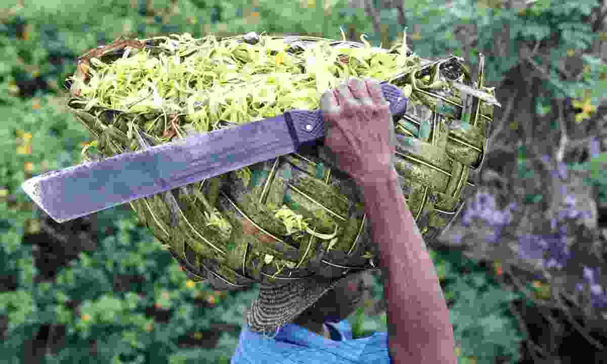 A man in Anjouan carries fragrant ylan-ylang (Dreamstime)