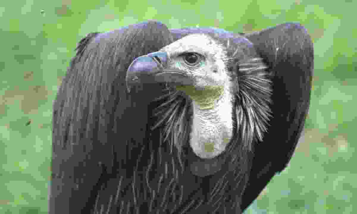 A vulture observes its surroundings (Phoebe Smith)