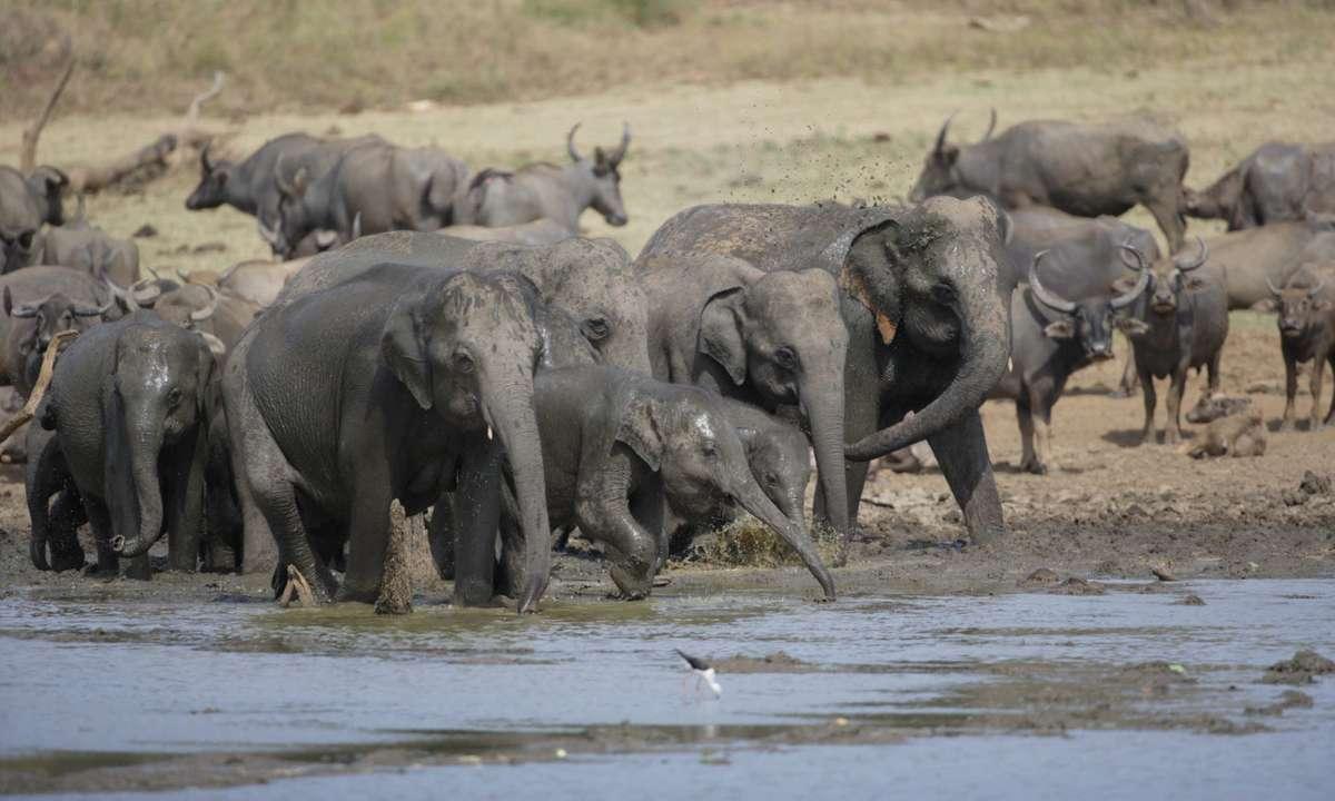 Elephants play in the mud (Gehan de Silva Wijeyeratne)
